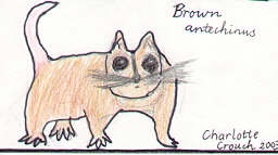 Brown Antechinus by Charlotte Crouch