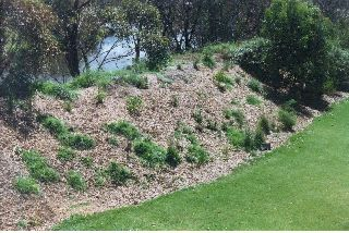 A levee bank after planting with natives