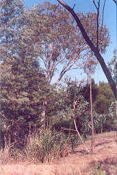 A woodland of river red gum and native grasses