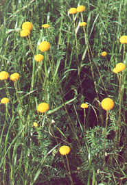 Common Billy Buttons