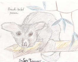 Brushtail Possum by Soph Louchart
