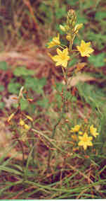 Bulbine Lily </B>or <B>Wild Onion
