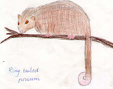 Ringtail Possum by Isabelle Carr