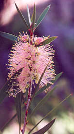River BottleBrush