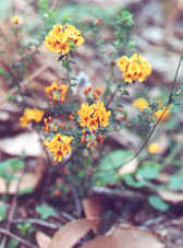 Showy Bossiaea