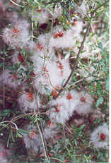 Small-Leafed Clematis - Fluffy seed heads
